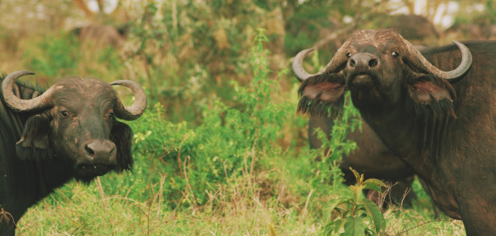 Lake Nakuru - Nakuru Gölü - Kenya - Buffalo - Baboon Cliff - 2010  Fotoğraf :  Onur  Yüksel