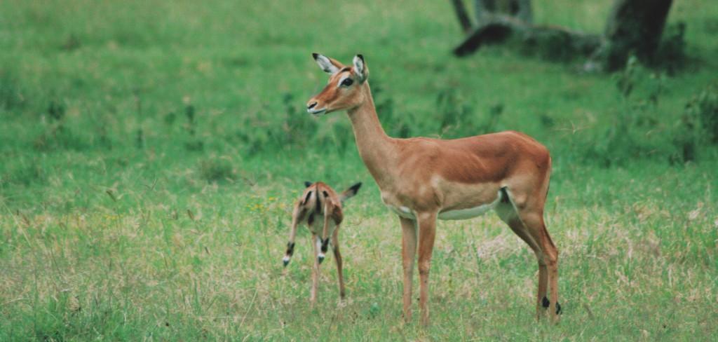 Lake Nakuru - Nakuru Gölü - Kenya - Impala - 2010  Fotoğraf :  Onur  Yüksel
