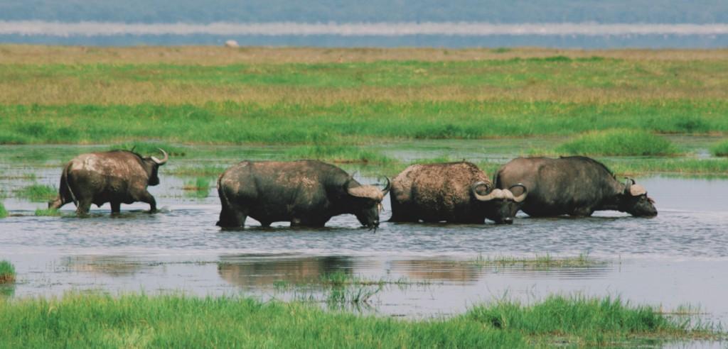 Lake Nakuru - Nakuru Gölü - Kenya - Buffalo - 2010  Fotoğraf :  Onur  Yüksel