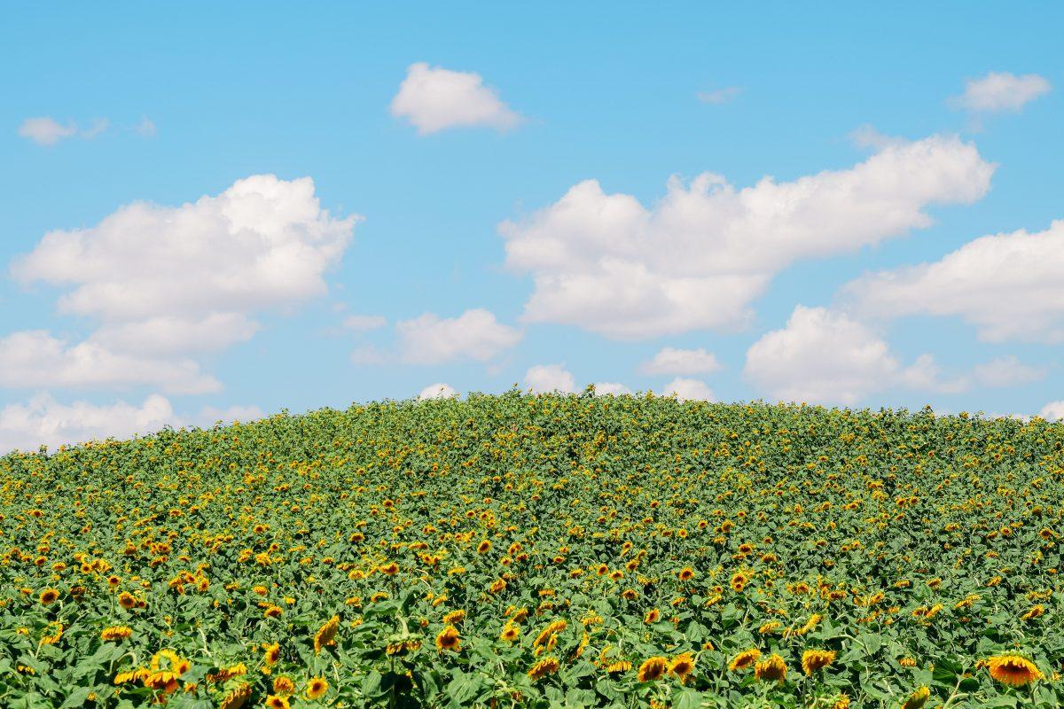 Çorum yolunda ayçiçeği tarlaları